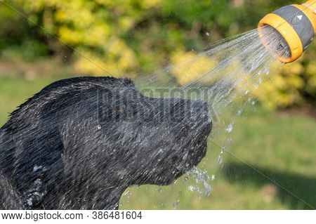 Head Shot Of A Black Labrador Being Sprayed With A Hose Pipe