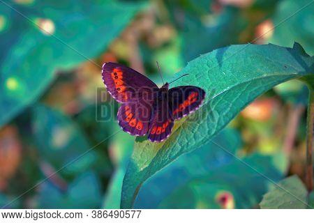 Northern Brown Argus Butterfly, Latin Name Plebeius Artaxerxes On A Green Leaf.