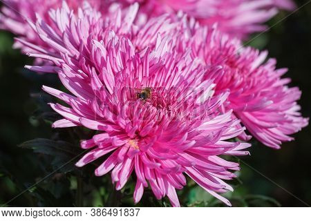 Background Of Pink Chrysanthemums With A Copy Of The Space. Beautiful Bright Chrysanthemums Bloom In