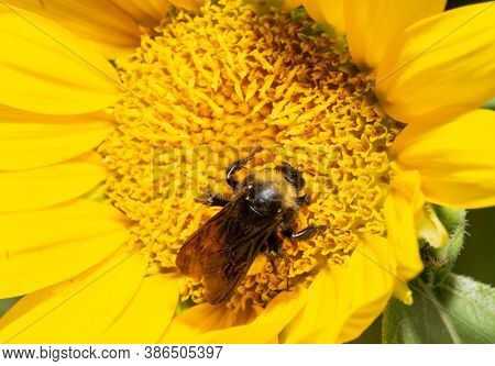 Closeup of a Bumble Bee pollinating a freshly opened Sunflower