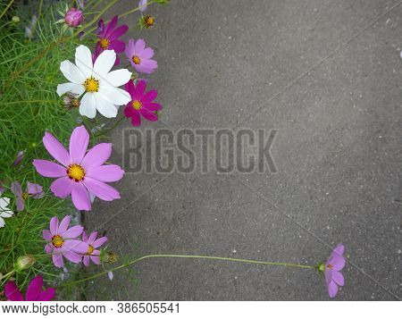 Cosmos Bipinnatus, Bright Pink White Flowers, Mexican Astra Against The Background Of Gray Asphalt,