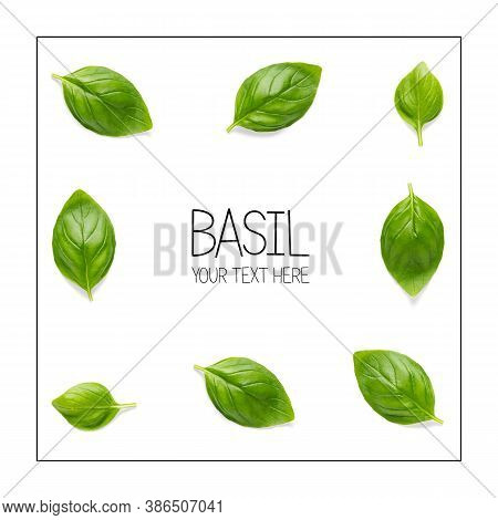 Creative Layout With Fresh Basil Leaves. Bunch And Single Basil Leaf Composition On White Background