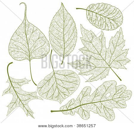 Leaf skeletons vector set. poster
