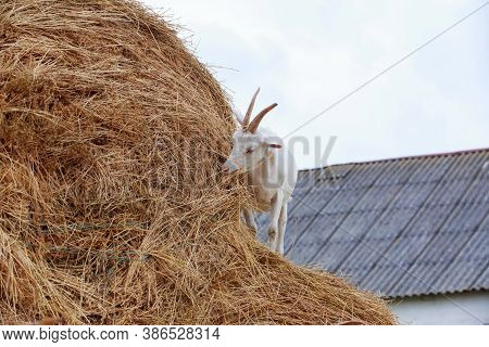 Goat Eat Fresh Hay Near The Farm