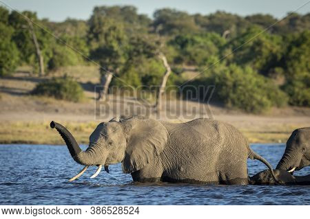 Elephant Female Leading The Herd Through Chobe River In Golden Afternoon Light In Botswana