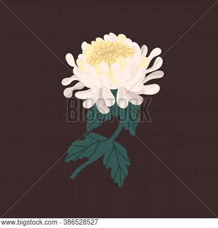 White Tender Japanese Chrysanthemum With Branch And Leaves Realistic Vector Illustration. Elegant Bl