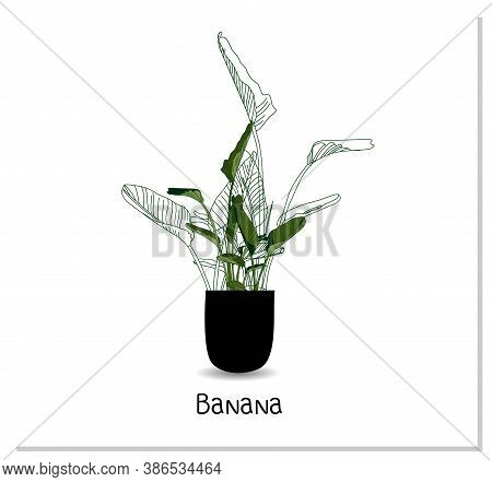Strelitzia. Indoor Banana. Indoor Potted Plant Isolated On White Background. Home Flowers Clipart.