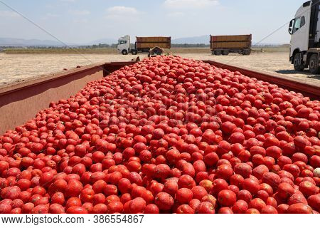 Tomatoes Harvest. Container Full Of Fresh Tomatoes Picked In The Field.