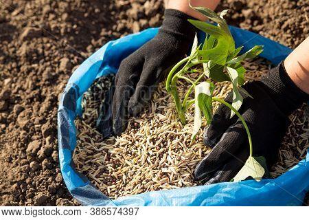 Seeding Seeds Of Green Manure. Biological Farming.