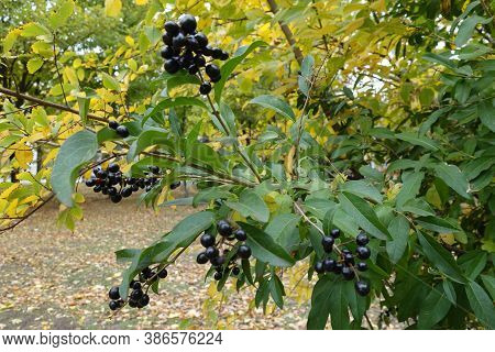 Berries On Branch Of Common Privet In October
