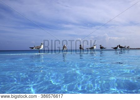 Group of seagulls on the edge of an infinity pool looking at the view of the beach and ocean at a luxury resort in Cancun, Mexico