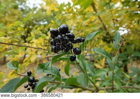 Bunch Of Black Berries Of Common Privet In October
