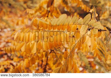 Beautiful Autumn Leaves Of Yellow Acacia Close-up. Autumn Landscape Background. Autumn Abstract Back