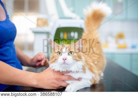 Preventive Control Of A Cat In The Veterinary Clinic, Vet Concept