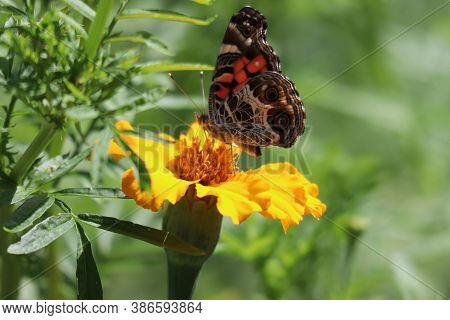 A Beautiful Monarch Butterfly On A Marigold Flower.
