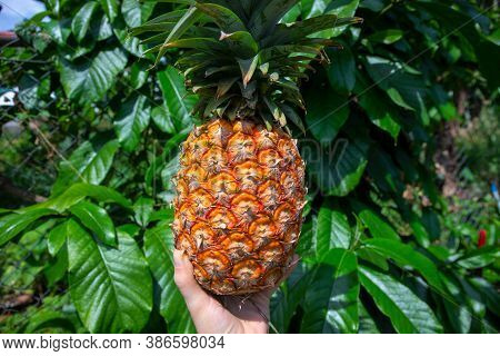 Fresh Ripe Pineapple In Woman Hand On Green Leaf Background. Tropical Garden Harvest. Growing Pineap