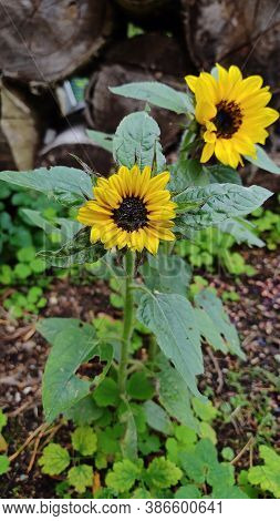 Two Small Blooming Sunflowers. Fresh Beautiful Flowers