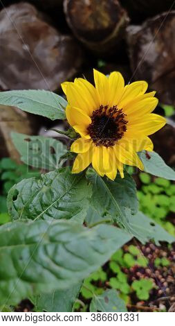 Small Blooming Sunflower Growing. Fresh Beautiful Flowers