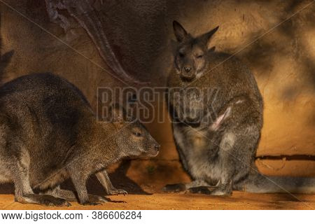 Macropus Rufogriseus In Sunny Summer Morning Near Orange Wall