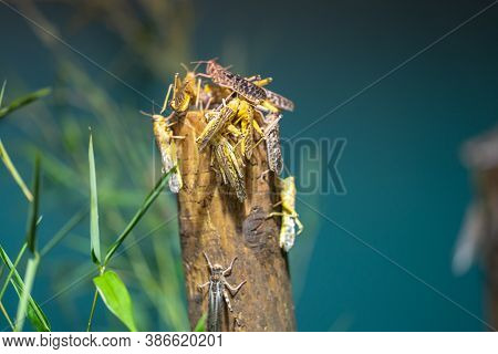 Desert Locust Schistocerca Gregaria Is A Species Of Locust, A Periodically Swarming, Short-horned Gr
