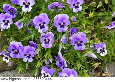 Closeup Of Colorful Pansy Flowers In The Garden. Scientific Name Of Garden Pansies Is Viola Wittrock