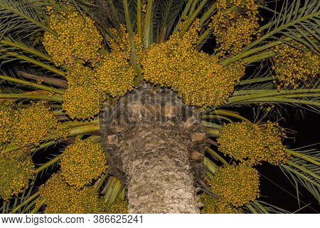 Date Palm Branches With Ripe Dates. Northern Israel. Date Palm Dates.