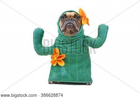 Small French Bulldog Dog In Funny Cactus Costume With Arms Like Branches And Yellow Flowers Isolated