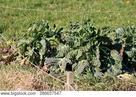 Densely Planted Old Kale Or Leaf Cabbage Hardy Cool Season Annual Green Vegetable Plants With Thick
