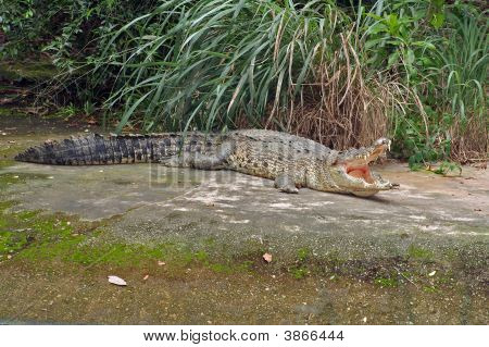 A crocodile basking in the sun with its mouth wide open. poster