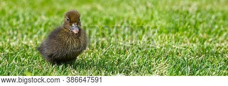 Small Newborn Ducklings Walking On Backyard On Green Grass. Brown Cute Duckling Running On Meadow Fi