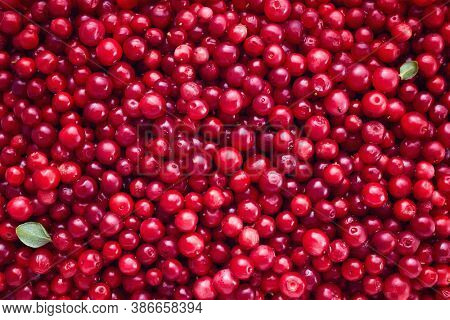 Fresh Organic Cranberries Background. Full Frame Shot Of Cranberries.