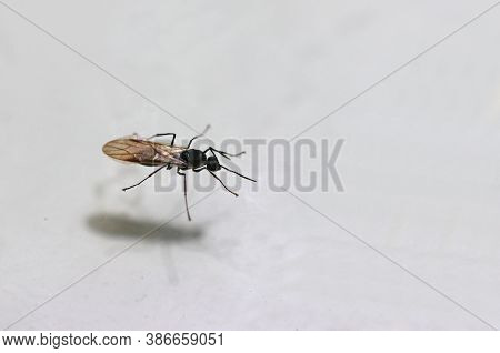 Black Winged Ants Isolated On White Background. Flying Ants This Is Because Ants Only Fly Or Even Ha