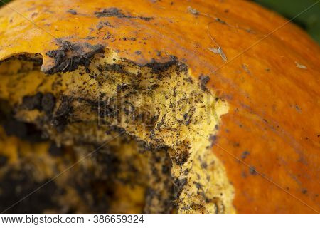 Pumpkin Eaten By Rodents In The Garden, Close-up. Small Rodent Damage Concept.