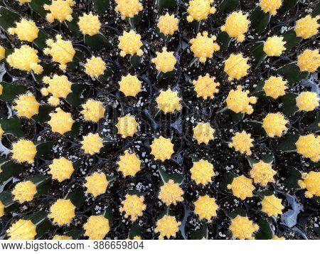 Cactus On Background.moon Cactus (gymnocalycium Mihanovichii) In Flower Pot, Yellow  Cactus.