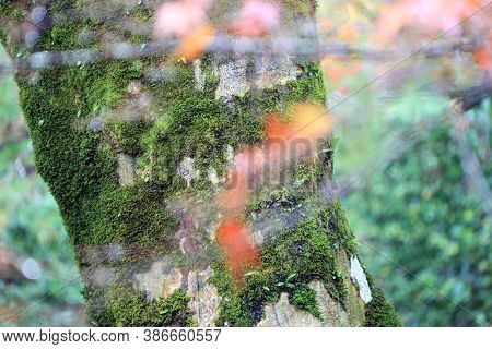 Texture Of Tree Trunk With Lichen Moss And Background Green Tree. Pattern Of Tree Bark With Thalloph