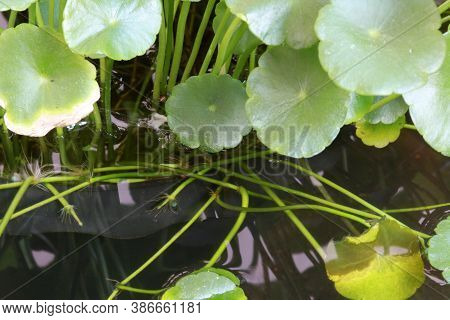 Centella Plant Leaves Floating On Water, Green Pattern Of Asiatic Leaf Drift On The Water.