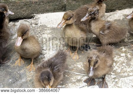Ducklings Are Surrounded By Fences.duck Chicks.mallard Ducklings.cute Domestic Duckling.small Brown