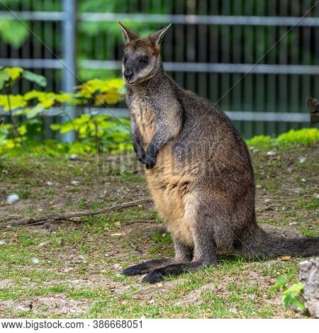 The Red Kangaroo, Macropus Rufus Is The Largest Of All Kangaroos, The Largest Terrestrial Mammal Nat