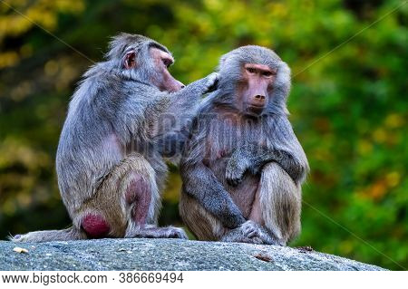 The Hamadryas Baboon, Papio Hamadryas Is A Species Of Baboon, Being Native To The Horn Of Africa And