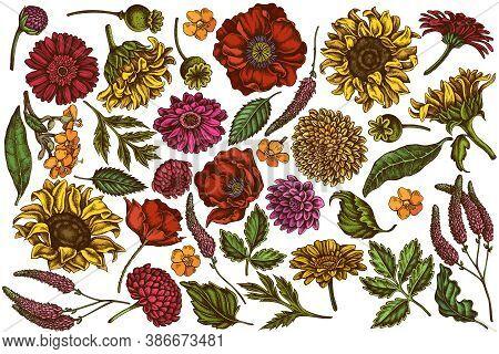 Vector Set Of Hand Drawn Colored Poppy Flower, Gerbera, Sunflower, Milkweed, Dahlia, Veronica Stock