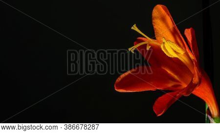 Single Blooming Orange Crocosmia Flower Of Iris Family, Native To Africa. Small And Delicate Petals