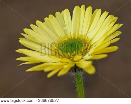 Closeup Of A Yellow Flower Of The Fleabane Erigeron Aureus Canary Bird