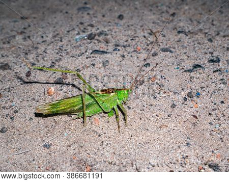 A Large Green Locust Is Sitting On The Sand. Hopper. Locust Insect Pest. A Pest Of Agricultural Crop