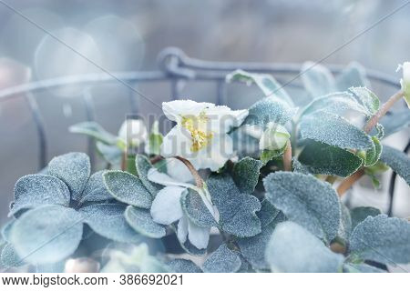 Christmas Roses In Basket On A Frosty Winter Day  With Tender Bokeh For Festive Greetings. Backgroun