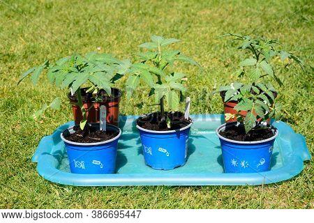 Lichfield, Uk - April 25, 2020 - Summerblast Variety Of Tomatoes, Uk, April 25, 2020.