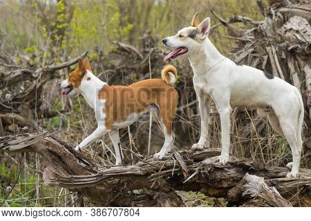 Big White Cross-breed Of Hunting And Northern Dog Escorting Basenji One While Walking Together On A