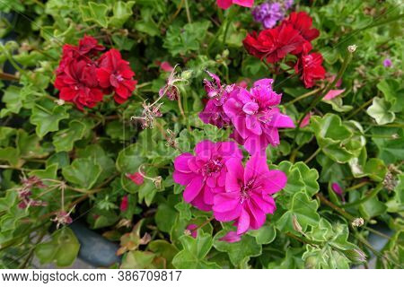 Fuchsia Colored And Red Flowers Of Ivy-leaved Pelargonium In August