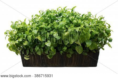 Wild Betel Leafbush Or Piper Sarmentosum Roxb In Cement Pots. Plant Isolated On White Background Wit