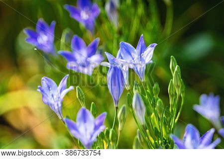 Bluebell Flowers In The Sunlight On A Summer Day In A Green Garden