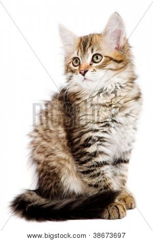 Siberian kitten isolated on the white background